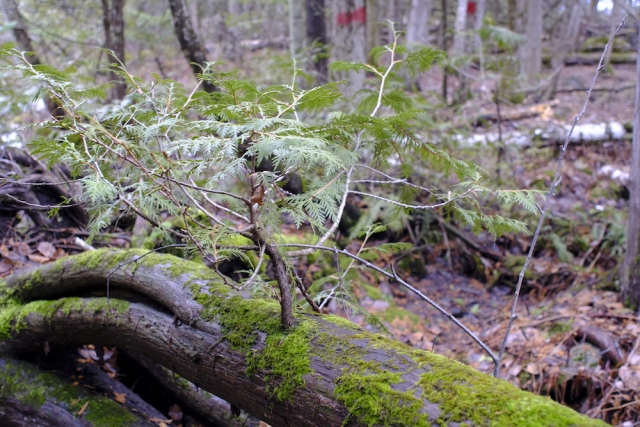 Canon FD 24mm F2.8 - Moss Tree