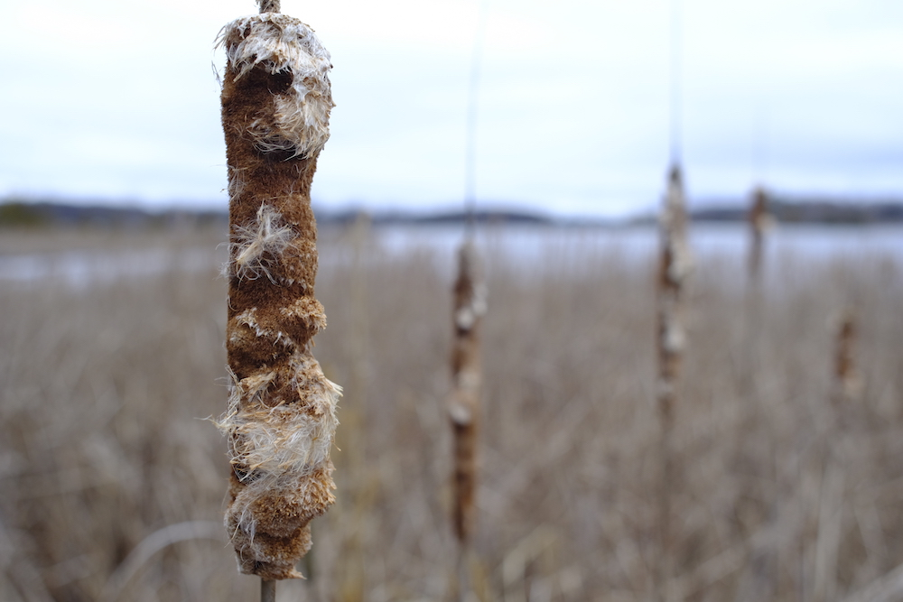 Canon FD 24mm F2.8 - Early Spring Cattail